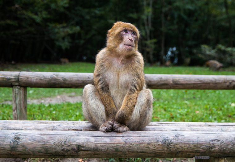 Affenberg brdo majmuna