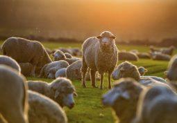 ovce, bruceloza, mediteranska ili malteška groznica