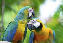 Papige mogu zaraziti vlasnika
