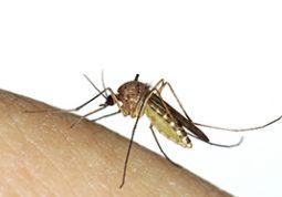 komarac, komarci