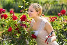ruže, cvijeće, cvjetnjak