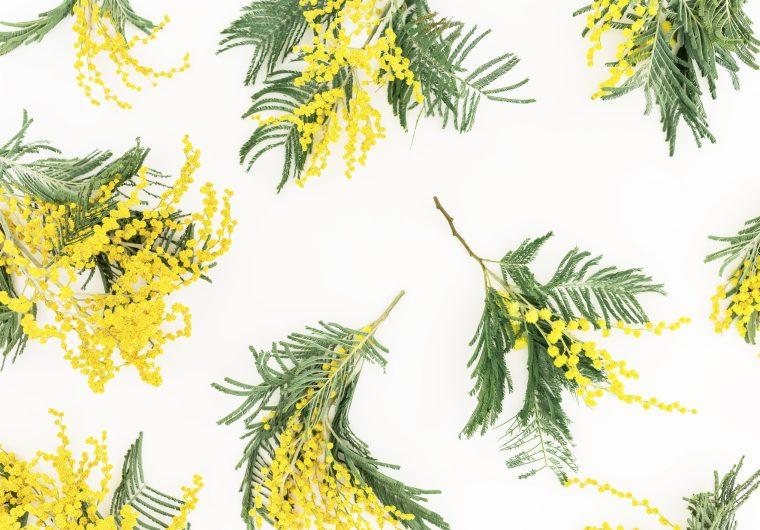 Mimoza je simbol Nacionalnog dana borbe protiv raka vrata maternice