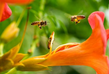 pčela, ubodi kukaca