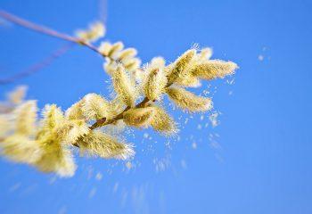 Čest oblik alergijskog rinitisa: Pozdrav proljeću uz peludnu hunjavicu