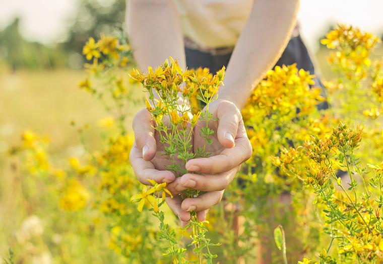 ljekovito bilje biljni caj zdravlje bazga sipak gospina trava lovor anis