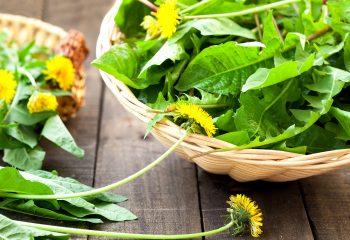 samonikle zeljaste biljke maslacak cikorija tust